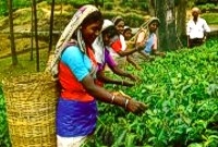 "Here's a chance to see and buy fresh ""Ceylon Tea"""